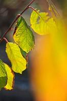 Yellow leaves of plum, Almansa, Albacete.