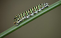 Swallowtail - Papilio machaon larva