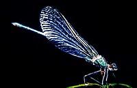 Beautiful demoiselle (Calopteryx virgo). Asturias, Spain