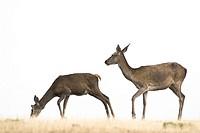 Red Deer (Cervus elaphus), Cabañeros, Ciudad Real, Castilla la Mancha, Spain