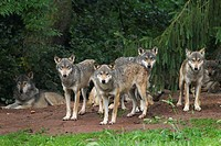 European gray wolf, Canis lupus lupus, pack, Germany.