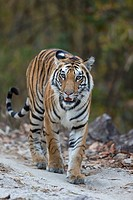 Tiger (Panthera tigris) walking on forest track, Kanha National Park, Madhya Pradesh, India.
