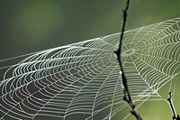 A spider web catches the wind at dawn, Pennsylvania, USA.