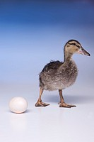 An older duckling starting to walk away from the duck egg.