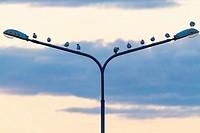 Black-headed gull, larus ridibundus, sitting on a street light in Boden in Norrbotten in sweden.