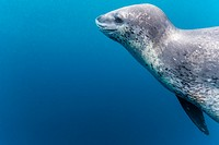 A curious adult leopard seal, Hydrurga leptonyx, underwater in the Errera Channel near the Antarctic Peninsula, Southern Ocean.
