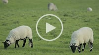 A group of sheeps eats on a green field. In the Peak District, England, UK.