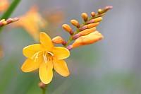 Montbretia (Crocosmia masoniorum) flower close up, England, UK.