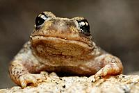 Iberian midwife toad (Alytes cisternasii) in Valdemanco, Madrid, Spain.