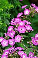 Garden phlox (Phlox paniculata ´Wilhelm Kesselring´).