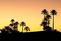 Palm tree to get dark in Erg Chebbi near Merzouga, southeast Morocco.