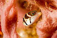 Black saddled puffer fish, Canthigaster valentini, Ambon, Indonesia.