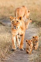 Lioness - Panthera leo and cubs, Masai Mara, Kenya, Africa.