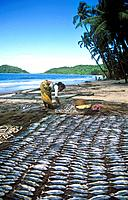 Indian woman drying fish in the sun on Palolem beach, Goa, India.