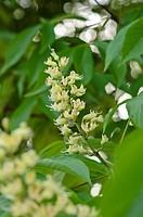 Ohio buckeye Aesculus glabra