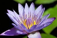 The purple lotus is considered the mystic lotus. Usually depicted as either a bud, or in bloom revealing the heart. Usually associated with the Buddha...
