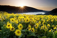 Balsamroot wildflowers at sunrise, Rowena Crest, Columbia River Gorge National Scenic Area, Oregon.
