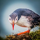 Atlantic Puffin (Fratercula arctica) Iceland.