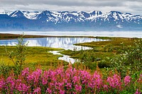 Dwarf Fireweed (Epilobium latifolium or Chamerion latifolium) in Skjalfandi bay. Husavik. Iceland, Europe.