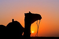 A camel at sunset on the Thar Desert, near Jaisalmer, Rajasthan state, India
