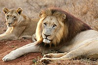 Male lion (Panthera leo) with lioness, Hlane Royal National Park, Swaziland, Africa.