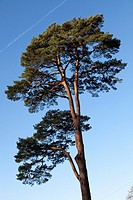 Tall Scots pine (Pinus sylvestris) tree sunlit against blue sky.
