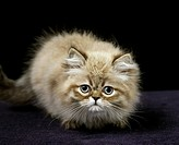 Colourpoint Persian Domestic Cat, Kitten standing against Black Background.