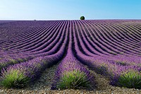 Lavender fields (Lavandula angustifolia), in Valensole plateau. Digne-les-Bains district, in Alpes de Haute Provence department and Provence-Alpes-Cot...