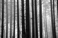 Black and White image of trees in a rain forest on a foggy morning, Canada.