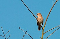 Nightingale, Luscinia megarhynchos In Song. Spring. UK.