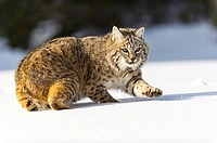 Bobcat (Lynx rufus) Captive young individual in late winter mountain habitat, Bozeman, Montana, USA.