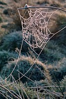 Spider web woven on rushes, coated with hoar frost in the early morning.
