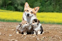 Dog Pembroke Welsh corgi / adult and two puppies in a field.