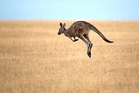 jumping Eastern Grey Kangaroo (Macropus giganteus), Maria Island, Tasmania, Australia.
