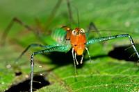 Grasshopper, Tropical Rainforest, Marino Ballena National Park, Uvita de Osa, Puntarenas, Costa Rica, Central America, America.