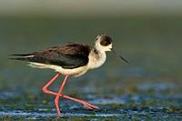 Black-winged Stilt - Himantopus himantopus, Crete