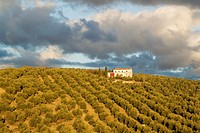 Cultivated olive trees (Olea europaea) and farmhouse. Málaga province, Andalusia, Spain.