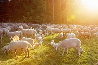 Landscape of a Sheep flock (Ovis aries) in spring, Upper Palatinate, Germany