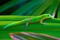 Gold Dust Day Gecko (Phelsuma laticauda laticauda), native to Madagascar, photographed in Hawai´i.