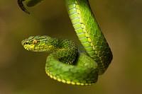 Large scaled pit viper, Trimeresrus macrolepis, Common, Eravikulam National Park, Kerala.