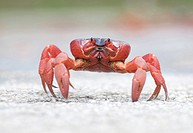 Red Crab (Gecarcoidea natalis) walking on road in Christmas Island in Australia.