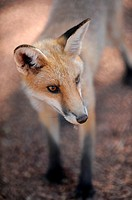 A close up shot of an Australian Fox.