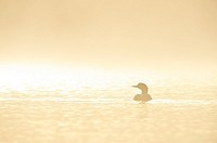 Great Northern Loon (Gavia immer), Common Loon in the fog at sunrise.