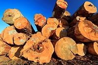 Large sized old growth logs in log sorting yard, Nanaimo, British Columbia.