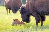 North America,United States,Alaska,Anchorage,Alaska Wildlife Conservation Center,Wood Bison (Bison bison athabascae),adult female and just born.
