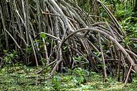 Guatemala, Rio dulce close up of Mangroves