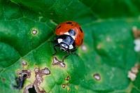 Ladybird, Coccinella septempunctata