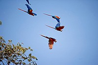 Scarlet Macaw, ara macao, Group in Flight, Los Lianos in Venezuela.