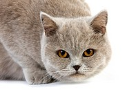 Lilac Cream British Shorthair Domestic Cat, Female standing against White Background.