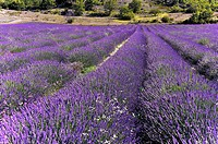 A sea of Lavender, Lavandula angustifolia, Provence, France.